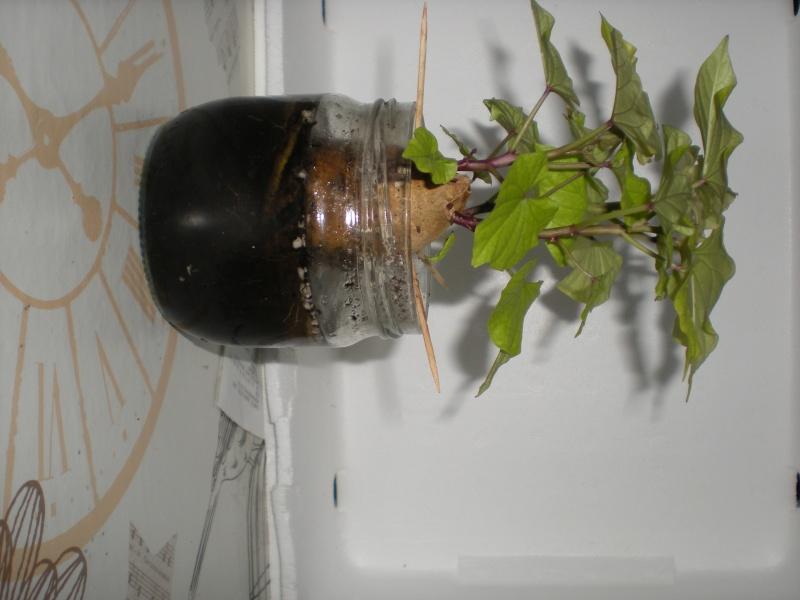 patate douce page 5 jardins du nord forum r gional site de conseils en jardinage culture. Black Bedroom Furniture Sets. Home Design Ideas