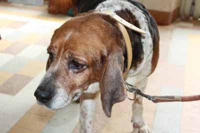 beagle11.jpg