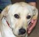 DYPSIE (femelle Labrador de 1 an 1/2 - patte avant gangrénée) - en FA en Allemagne -