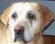 ELSA (femelle Labrador de 10 ANS) - ADOPTEE -
