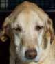 MYRTILLE (femelle Labrador de 10 ANS) - ADOPTEE -