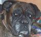 ROMY (femelle Boxer de 9 ANS ) - ADOPTEE -