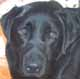 RONNIE (mâle Labrador de 3 ANS) - ADOPTE -