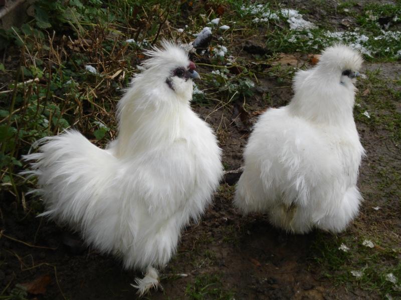 Negre soie naine barbue blanche for Poule soie blanche prix