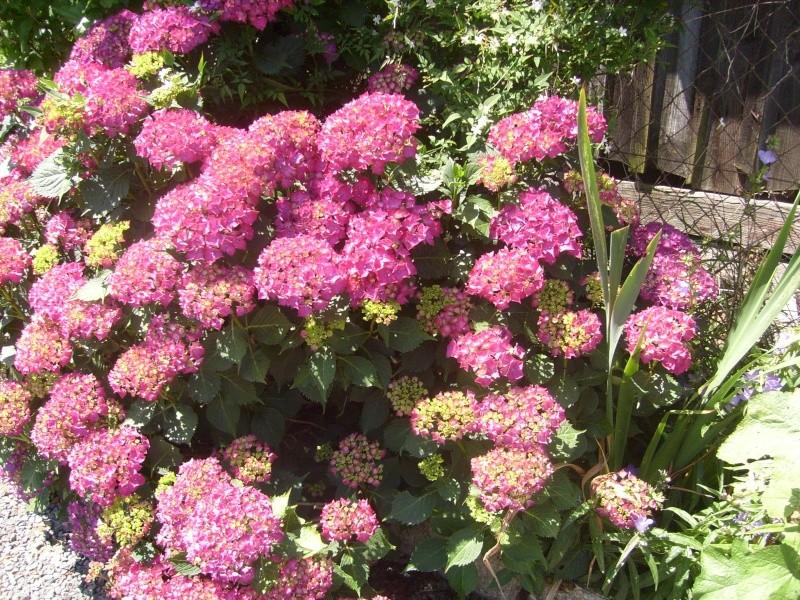 Hortensia au jardin forum de jardinage - Quand tailler un hortensia ...