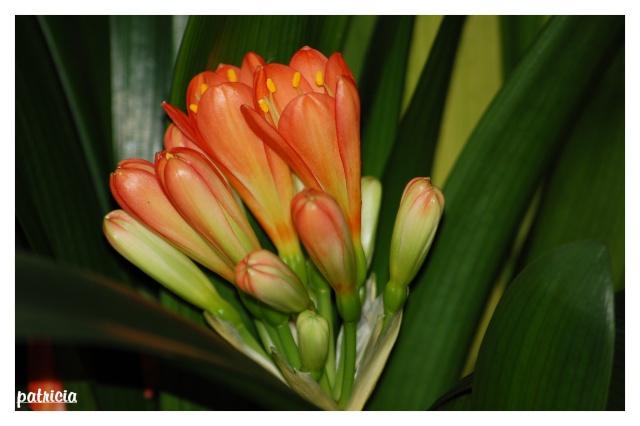clivia11 dans fleurs