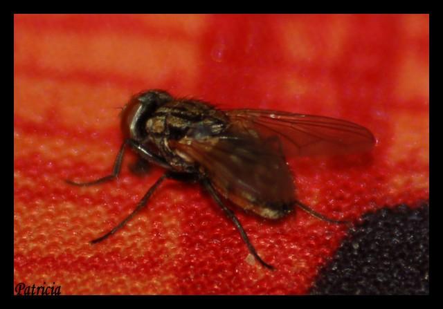 mouche11 dans animaux