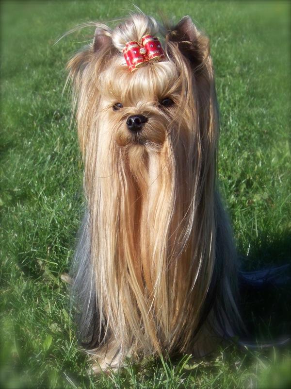 rencontre chien yorkshire