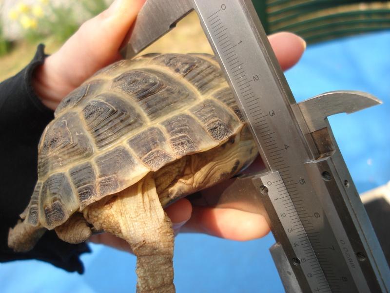 Comment mesurer une tortue - Methode simple pour mesurer terre ...