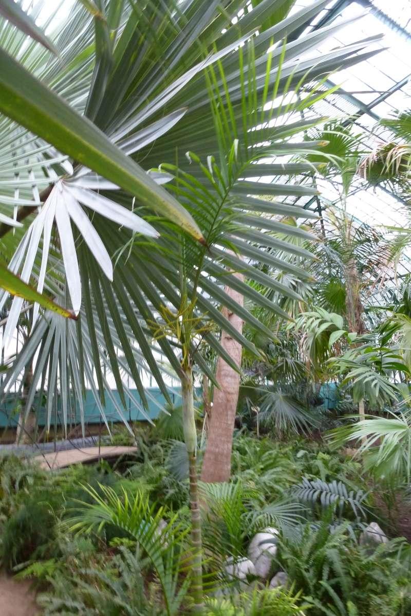 dypsis lutescens palmier d 39 arec. Black Bedroom Furniture Sets. Home Design Ideas