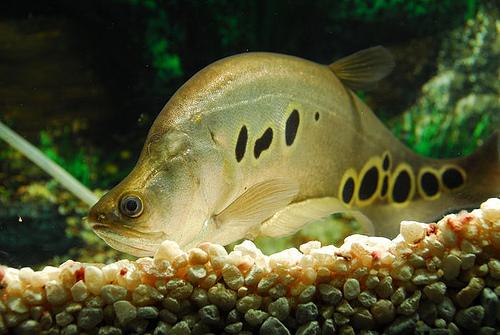 Clown Knifefish