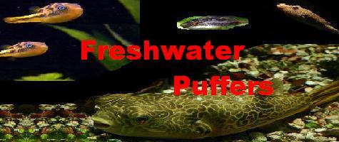 Freshwater Puffers