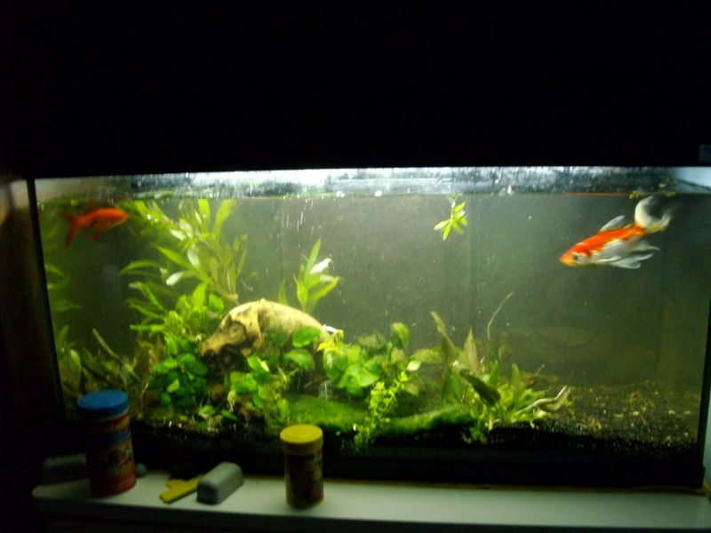 aquarium 90l gt poissons rouges new photos p8 page 5