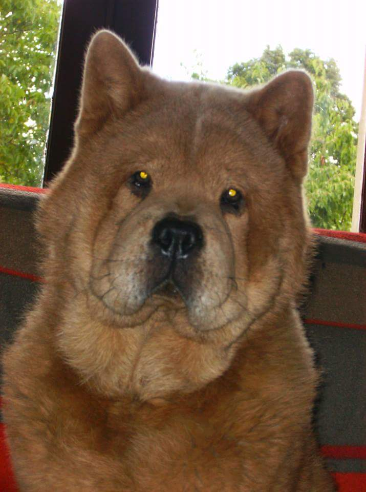 chow chow poil court