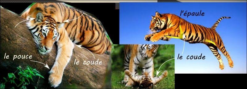 tigre_10.jpg