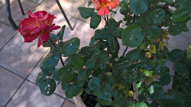feuilles de rosier trouées