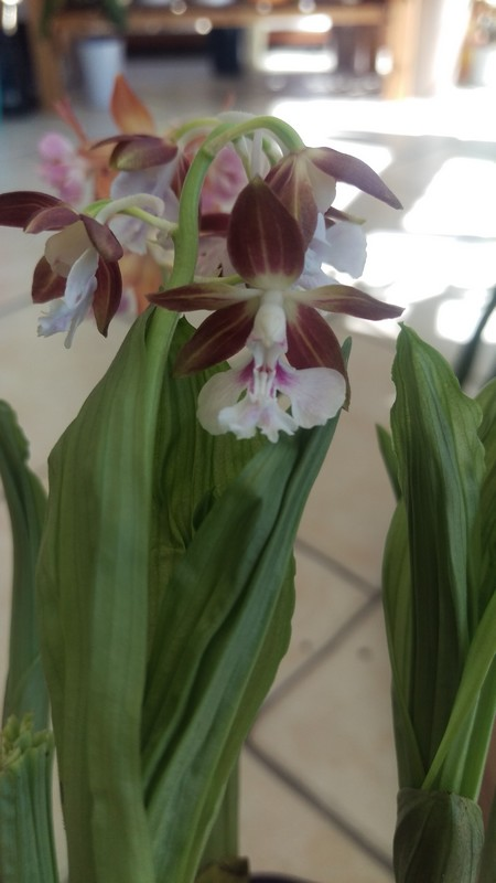 orchidée de jardin