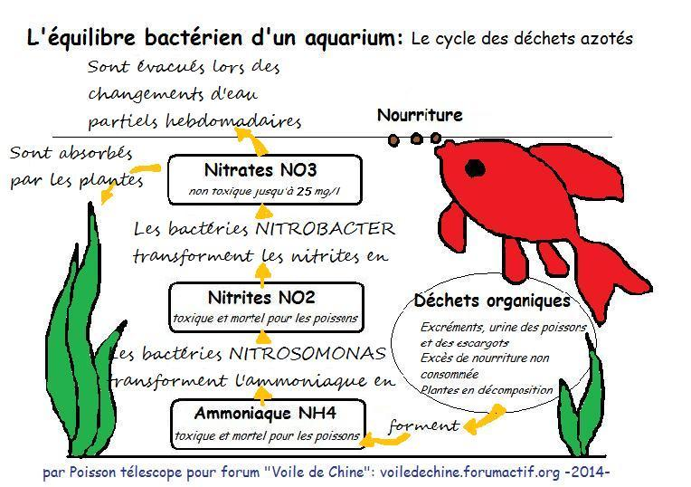 installer un aquarium le cycle de l azote