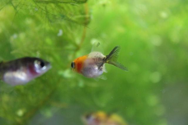 Reproduction de poissons rouge page 4 for Reproduction poisson rouge