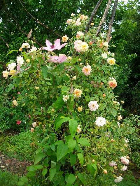 rose_p12.jpg