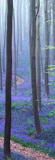Forêt Hallerbos, près de Bruxelles