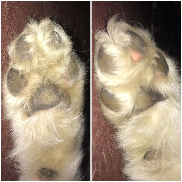bloody pads on dogs feet cracked