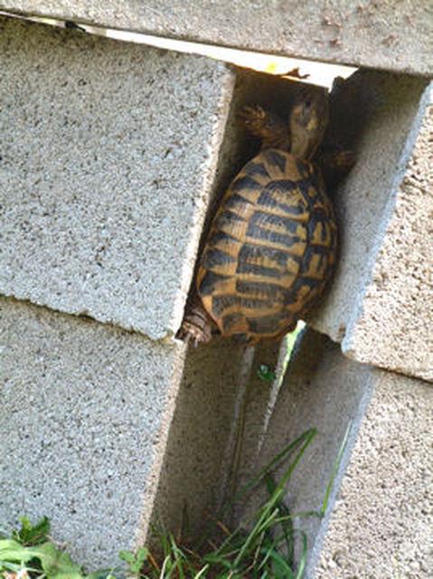 Une tortue d 39 hermann avis sur l 39 enclos et autre for Amenagement jardin pour tortue