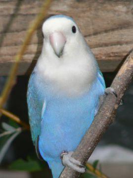 The Creamino Peachface Lovebird Mutation