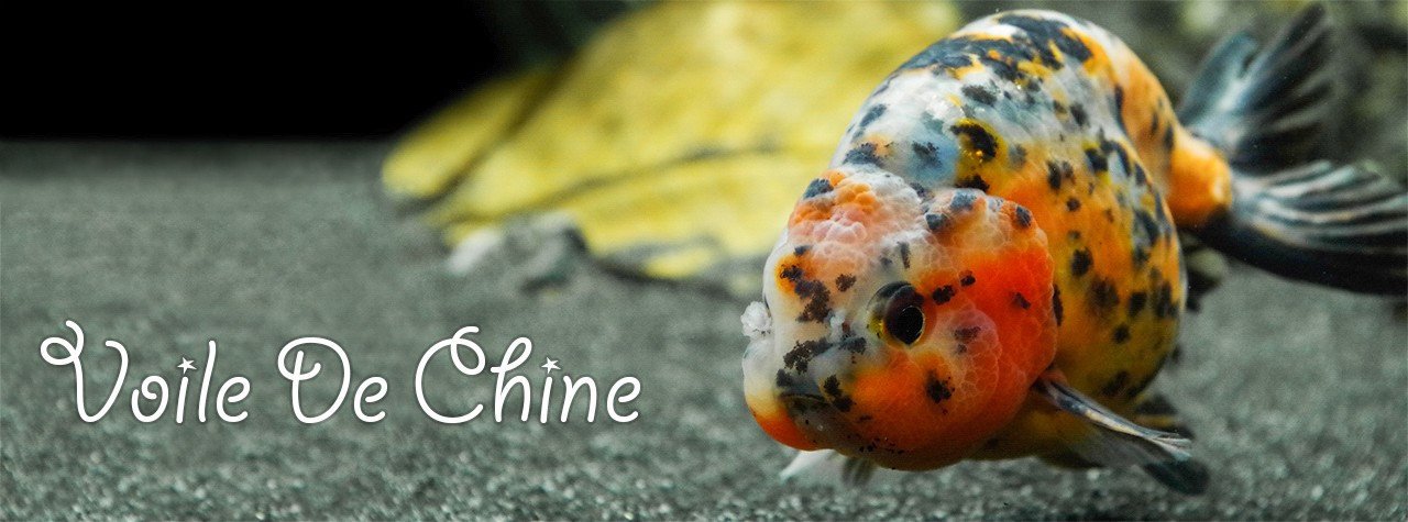 Les cailles et la couleur du poisson rouge for Nourriture poisson rouge voile de chine