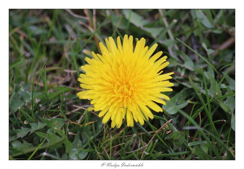 Fleur de pissenlit - Fleur commencant par t ...