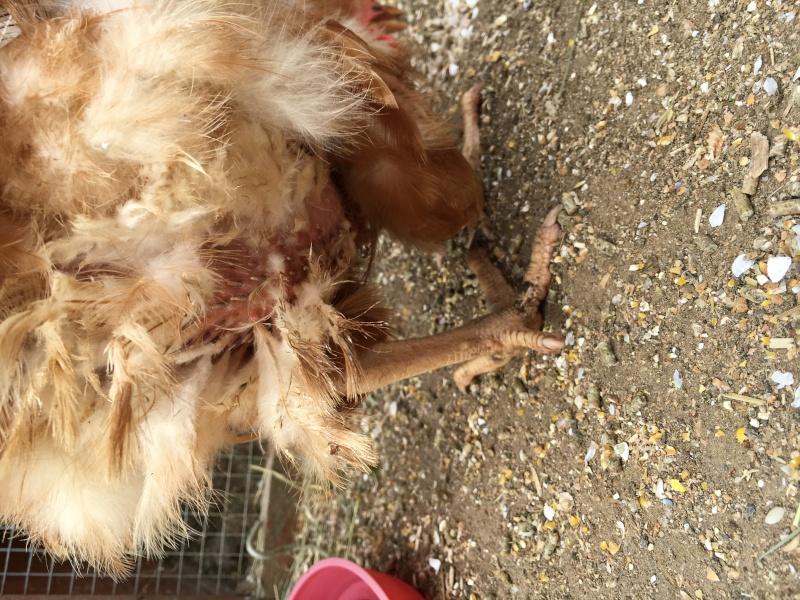 Perte de plumes depuis plus de 6 mois for Maladie poules perte plumes