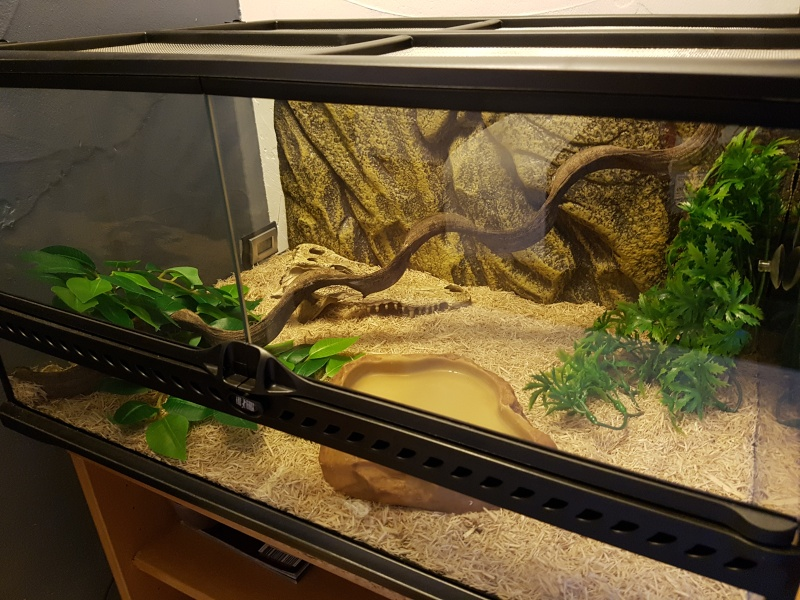 terrarium pour pantherophis guttatus juv nile. Black Bedroom Furniture Sets. Home Design Ideas