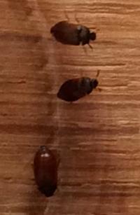 Identification insectes bruns petits for Insecte parquet